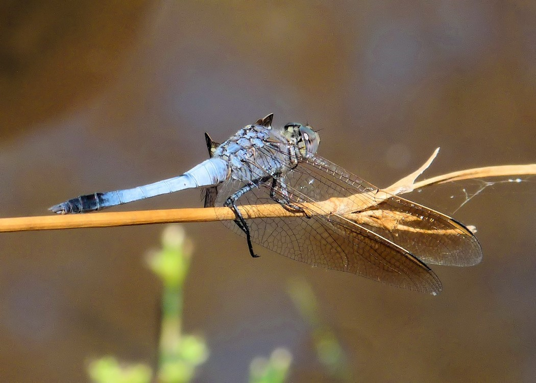 """Dragonfly"" © 2012, photograph by Raymonde Savoie, all rights reserved."